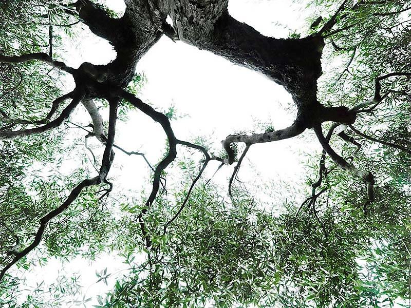 Werkreihe HIMMELSLAUB I . uralter Olivenbaum . Monte Acuto . Noch mehr Fotokunst finden Sie unter www.kunst.sabinefreudenberger.de